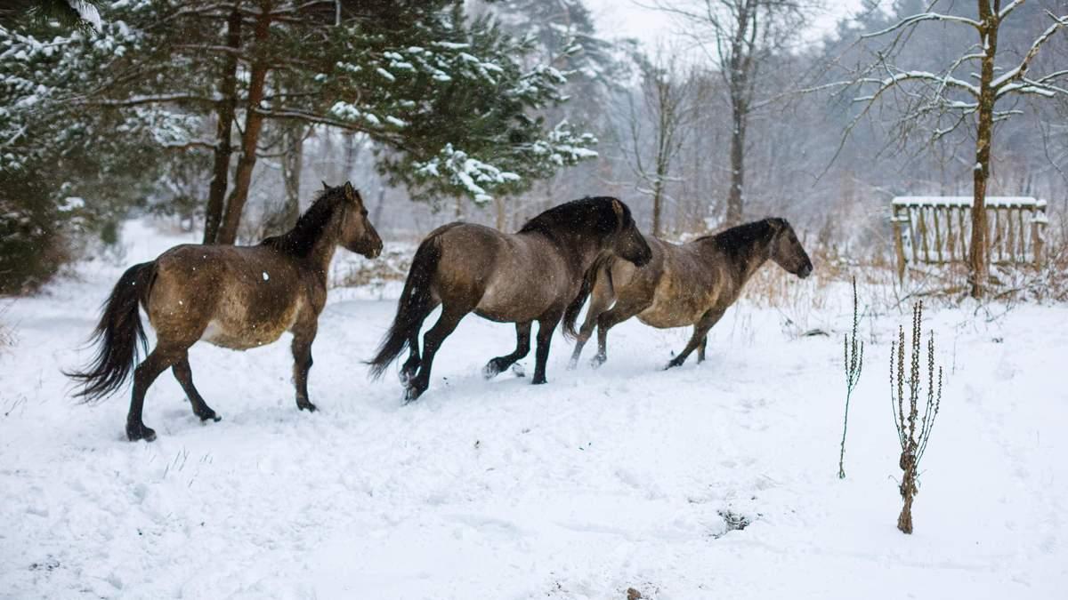 На Львівщині розводять нащадків рідкісних диких коней тарпанів